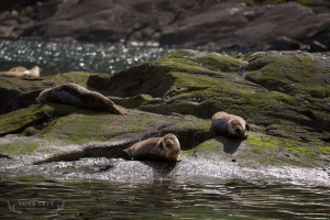 Basking seals at Loch na Culice Skye